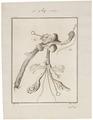 Dasyprocta aguti - ingewanden - 1700-1880 - Print - Iconographia Zoologica - Special Collections University of Amsterdam - UBA01 IZ20600111.tif