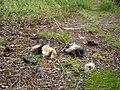 Dead lemmus lemmus.JPG