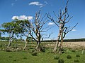 Dead trees, Easter Whin - geograph.org.uk - 1332502.jpg