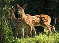 Deer (4737044852).jpg