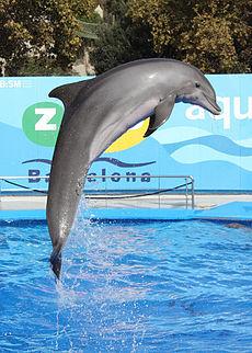 דולפינן ים תיכוני