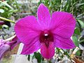 Dendrobium Hybrid - Flickr - treegrow.jpg