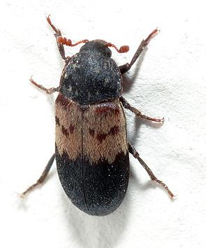 Gemeiner Speckkäfer (Dermestes lardarius)