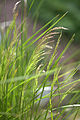 Deschampsia caespitosa 'Northern Lights'.jpg