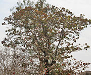 Desi Badam (Terminalia catappa) tree in Kolkata W IMG 2207.jpg