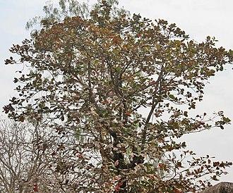 Terminalia catappa - T. catappa tree in  Kolkata, West Bengal, India.