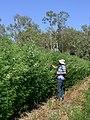 Desmanthus Progardes cv JCU 4.jpg