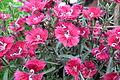 Dianthus 7139.JPG