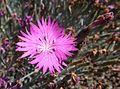 Dianthus gratianopolitanus firewitch.jpg