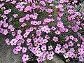 Dianthus gratianopolitanus ssp pulchellus 6.jpg