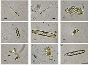 Diatoms: eukaryotic algae.
