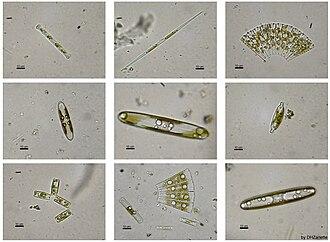 Heterokont - Image: Diatomeas w