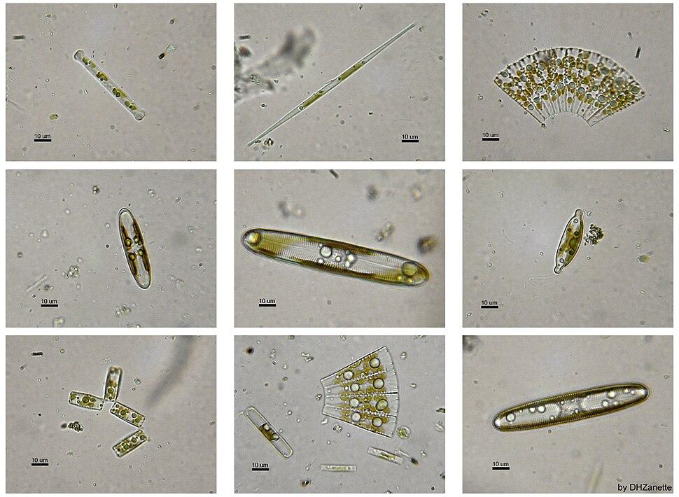 Diatomeas w