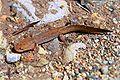 Dicamptodon ensatus01.jpg