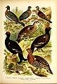 Die Vögel Europas (Pl. 27) BHL47804303.jpg