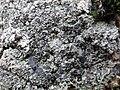 Diploschistes scruposus (Schreber) Norman 501227.jpg