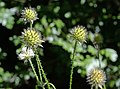 Dipsacus pilosus inflorescence (47).jpg