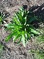 Dipsacus sativus-28.jpg