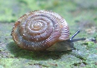 Punctoidea superfamily of molluscs