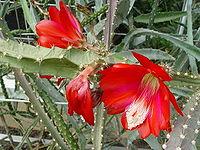 Disocactus speciosus1MTFL