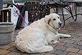 Dog (25210692239).jpg