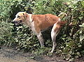 Dog defecating.jpg