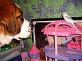 Dog looking at a Budgerigar-2.jpg