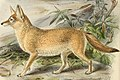 Dogs, jackals, wolves, and foxes (Plate XXXIV) (5987844603) 2.jpg