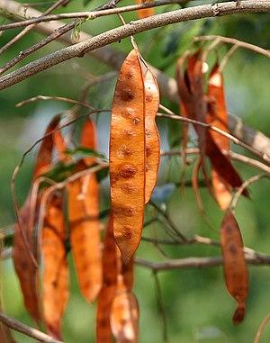 Albizia - Albizia procera fruits