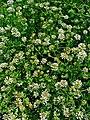 Dorycnium pentaphyllum herbaceum 001.JPG