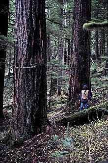 Douglas Firs Mount Hood National Forest.jpg