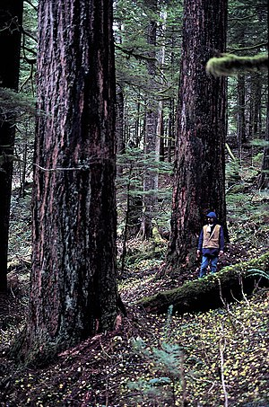 Mount Hood National Forest - Old-growth Douglas Fir in the Mount Hood National Forest