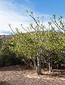 Dracaena reflexa var. angustifolia - Jardín Botánico Canario Viera y Clavijo - Gran Canaria.jpg