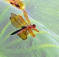 Dragonfly DeSoto.jpg