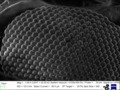 Drosophila eye 1000x - SEM MUSE.tif