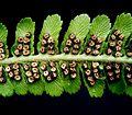Dryopteris filix-mas4 ies.jpg