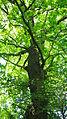 Dub na Bučkově kopci 12-05.JPG