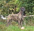 Duffy the brindle Great Dane.JPG