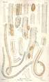 Dujardin 1845 Planche 1.png