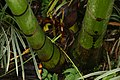 Dypsis lutescens 29zz.jpg
