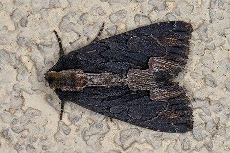 Dypterygia scabriuscula 01(js), Lodz (Poland).jpg