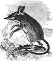 EB1911 Insectivora — Fig. 2.—Peter's Jumping-Shrew (Petrodromus tetradactylus).jpg
