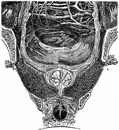 EB1911 Reproductive System, in Anatomy - pelvis section showing bladder and prostate.jpg