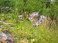 ERYNGIUM ALPINUM. (1). Vallon du Fournel. 22-07-09.JPG