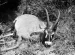 ETH-BIB-Pferdeantilope-Kilimanjaroflug 1929-30-LBS MH02-07-0355.tif