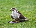 Eagle (127836245).jpeg