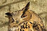 Eagle Owl - Linton Zoo (16928661305).jpg