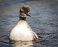 Eared Grebe, breeding plumage (34010538411).jpg