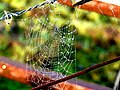 Early morning spider's web - geograph.org.uk - 956349.jpg