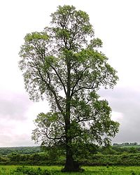 Ulmus minor subsp minor